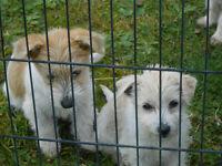 Bichon / Terrier Cross Pup .. 12 weeks