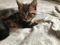 Gorgeous playful kittens