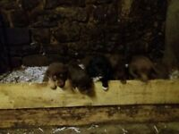 Colie x kelppie pups