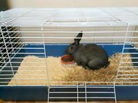 Male 18 month rabbit needs loving home!