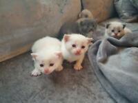 Kittens (only 2 left)