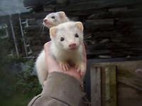 10 week ferret kits jills and hob