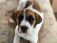 Beagle puppy, ready now