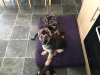 German Shepherd puppies Kc reg