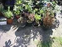 7 Assorted Garden Plants Inc Hosta, Fushia, Hebe, Buddlia, Brown Leafed Shrub etc etc £20