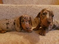 miniature dachsunds