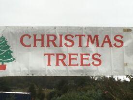 Christmas trees nordman fir 4foot to16 foot