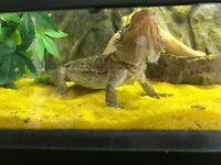 Male bearded dragon with vivarium and accessories
