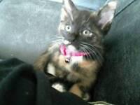 Lost female kitten