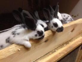 Young black,gold and self english rabbits