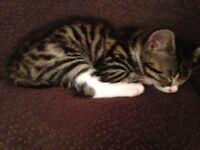 Tabby/white female kitten looking for a loving family