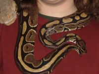 Royal Python - Really friendly. Reduced for quick sale