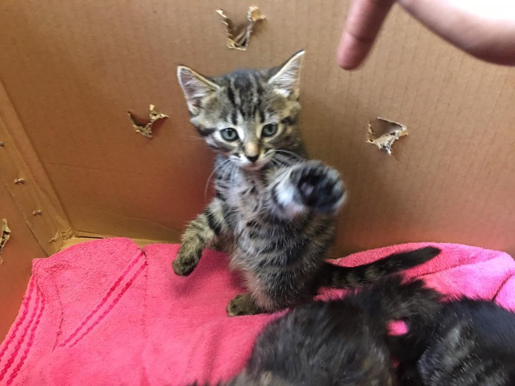 LOVELY TABBY KITTENS PUSSY CATS FOR SALE GIRLS