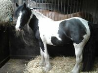 2yr old traditional cob