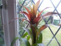 Beautiful Healthy Exotic Bromeliad 'Pineapple' Plant in Red China Container