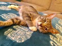 1 Year Old Cat (Kitten) Burmese X British Short Hair (Looks like a Silver Tabby)
