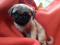 Pug pups.....