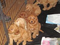 Red Apricot Cream Cockapoo Puppies (PRA-PRCD FN DNA Clear)