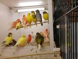 Mixed canary's