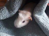 Baby Guinea pig female for sale
