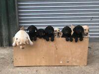 Labrador puppies - 3 yellow males, 3 black females, 1 black male - £600 - Deposit £100