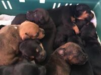 Adorable Staff Pups Staffy Puppies