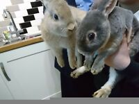 2 RABBITS WITH HUTCH FOR SALE