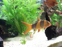 3 CLOWN LOACHES TROPICAL FISH