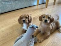 Cavapoo puppies for sale *only 2 girls left*