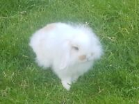 Mini Lop Rabbits (Bunnies) White - available 23-06