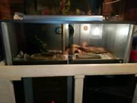 Amel corn snake female