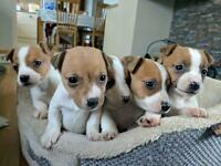 Lovely Jack Russell pups