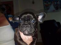 French bulldog boy brindle ( ready now)