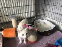 Kittens ready soon