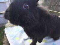 Very friendly Black dwarf/ lionhead rabbit 6 months old