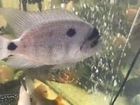 CICHLIDS FOR SALE - UPDATED LIST