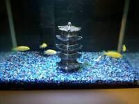 Yellow Lab Cichlids Tropical Fish