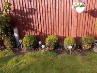 5 Boxus Plants (30cm to 50cm)