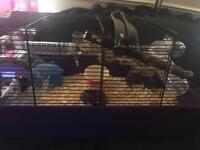 Russian Dwaf hamster for sale