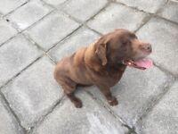 Chocolate Brown Labrador Dog