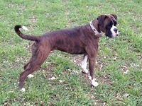 Pedigree Boxer Puppies For Sale