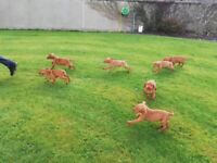 Health Tested Hungarian Vizslas