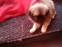 Pugpoos for sale