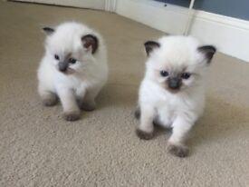 Super sweet ragdoll kittens. Ready September 15th. £450