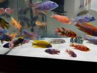Malawi cichlids amazing colours