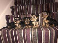 Miniature Yorkshire Terrier (Yorkie) Puppies