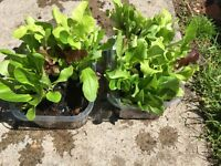 Tray of mixed lettuce as shown in picture £1.00