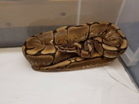 ROYAL PYTHON ( SPIDER ) MALE