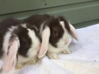MINI LOPS READY TO LEAVE NOW