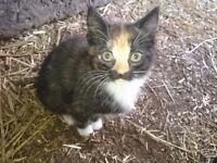 1 adorable female dark tortoiseshell kitten